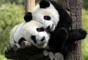 黄龙+米亚罗+熊猫乐园舒心三日游 赠送晚会