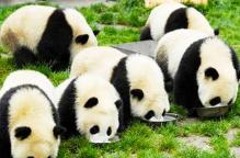 熊猫基地+都江堰《纯玩》一日游