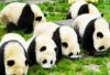 成都熊猫基地半日游  三星堆半日游