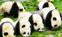 熊猫基地+都江堰+川菜博物馆《纯玩》一日游